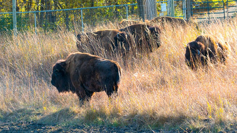 Five bison stand in the sun within their tall grass prairie enclosure. The bison closest to us is entirely visible, the rest are partially hidden in the grass.
